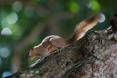 Squirrel in bali Royalty Free Stock Image