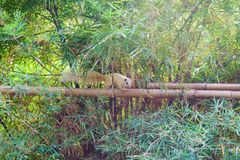 Squirrel on bamboo,Small cute squirrel royalty free stock images