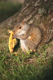 Squirrel with banana peel Stock Photos