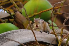 Squirrel, Bangalore, Karnataka. A diurnal mammal of the family of rodents Royalty Free Stock Photos