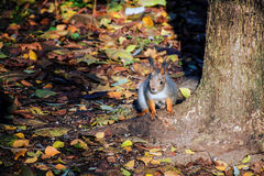 Squirrel. Basking in the sun under a tree Royalty Free Stock Image