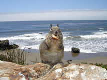 Squirrel at the beach Royalty Free Stock Image