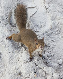 Squirrel on beach Royalty Free Stock Photos