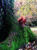 Squirrel in beautiful garden. Photo from Warsaw. Squirrel eat a nut and sit in tree Stock Images