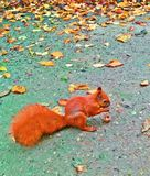Squirrel in beautiful garden. Photo from Warsaw . Unsual squirell eat a nut.  In the backgroud are a lot of red and orange autumn leaves Stock Image