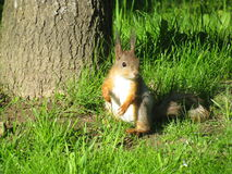 Squirrel. Beautiful red squirrel in the park of Peterhof near the Gulf of Finland Royalty Free Stock Images
