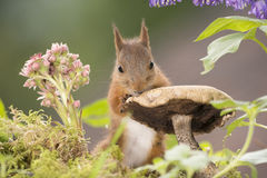 Squirrel on and behind mushroom Stock Photo