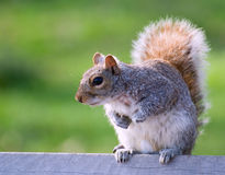Squirrel on a bench. Photo was taken in Brooklyn in April 2007 Royalty Free Stock Image