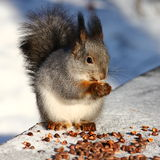 Squirrel. On the bench eating nuts in snowy park Royalty Free Stock Image