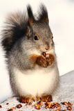 Squirrel. On the bench eating nuts in snowy park Royalty Free Stock Photo