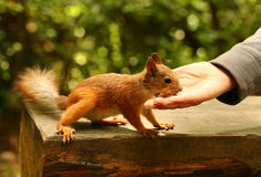 Squirrel on the bench takes nuts from woman's hand Stock Photos