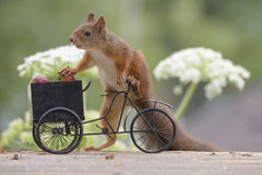 Squirrel with a Bicycle with strawberries Royalty Free Stock Photos