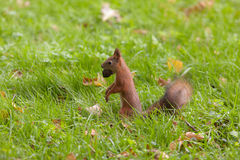 Squirrel with a big nut Royalty Free Stock Photo
