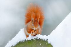 Squirrel with big orange tail. Feeding scene on the tree. Cute orange red squirrel eats a nut in winter scene with snow, Czech rep Royalty Free Stock Photography