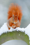 Squirrel with big orange tail. Feeding scene on the tree. Cute orange red squirrel eats a nut in winter scene with snow, Czech rep Stock Photos