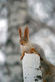 Squirrel on a birch. Squirrel sitting on a chippy birch Royalty Free Stock Image