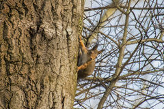 Squirrel in a birch Royalty Free Stock Photo