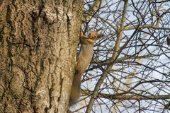 Squirrel in a birch Stock Image