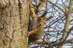 Squirrel in a birch Stock Photography