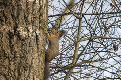 Squirrel in a birch Stock Images