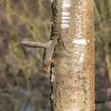 Squirrel on birch trunk Stock Image