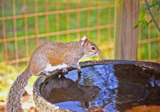 Squirrel At Bird Bath Royalty Free Stock Images