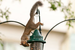 Squirrel on bird feeder Stock Photo