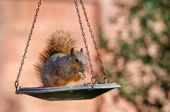 Squirrel on bird feeder Stock Photography