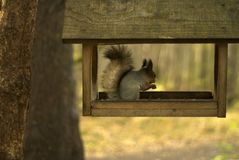 Squirrel in bird feeder. Red eurasian squirrel sits and eats in a simple wooden bird feeder royalty free stock photos
