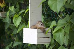 Squirrel in a bird feeder with a seed in its mouth stock images