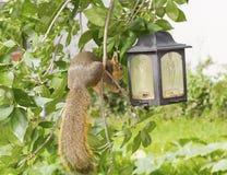 Squirrel with bird feeder Stock Photos