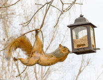 Squirrel with bird feeder Royalty Free Stock Photography