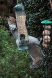 Squirrel on a bird feeder royalty free stock photo