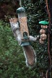 Squirrel on a bird feeder stock photos