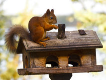 Squirrel on a birdfeeder Royalty Free Stock Photos