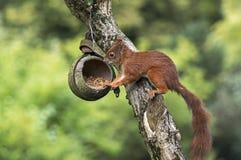 Squirrel on a birdfeeder. A squirrel plunder a birdfeeder Royalty Free Stock Photo