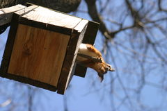 Squirrel and birdhouse on the tree Stock Photography