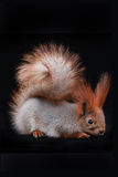 Squirrel, Stock Photography