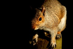 Squirrel black background A Stock Images