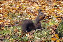 Squirrel with black fur and fluffy tail Royalty Free Stock Photography