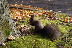 Squirrel with black fur and fluffy tail Royalty Free Stock Photo