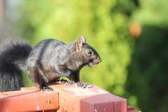 Squirrel, Black (Sciurus) Stock Photo