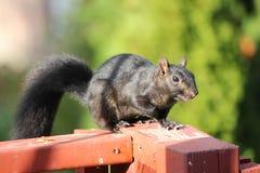 Squirrel, Black (Sciurus) Royalty Free Stock Photos