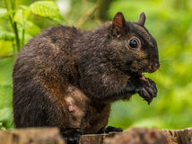 Squirrel. Black squirrel sitting on a stupmp Royalty Free Stock Photography