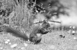 Squirrel, Black And White, Fauna, Mammal Royalty Free Stock Photos