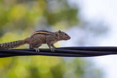 Squirrel on a black wire Stock Images