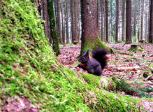 Squirrel. Black squirrel in the woods Royalty Free Stock Images