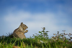 Squirrel Blissfully Eating Stock Images