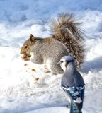 Squirrel and Blu Jay Stock Photography