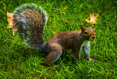 A squirrel. Stock Images